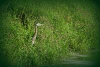 Great Blue Heron at edge of Trojan pond, Oregon 2