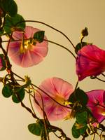 Morning Glories (warm tones)