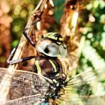 """""""Dragonfly"""" by davidanderson"""