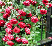 The Rose Bush