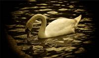 Peaceful Swan