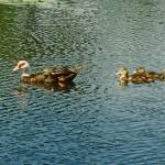 """Mother Muscovy Duck and Babies"" by kphotos"