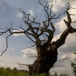 """The old Tree"" by fletcheraimee"