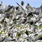 """Snow Geese Landing"" by CaptureLife"