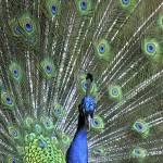 """Colorful Bouquet of Peacock Feathers"" by WallArtDeco"
