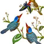 """banded kingfisher"" by markkumurto"