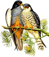 eastern red-legged falcon
