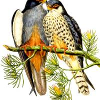 eastern red-legged falcon Art Prints & Posters by markkumurto