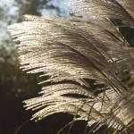 """""""Back Lit Grasses"""" by artbyjocelyn"""