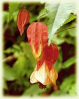 Flowering Maple