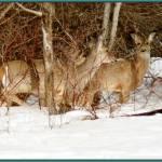 """""""Saskatchewan whitetail deer"""" by GrannyHelps"""