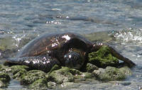 Honu on the Rocks
