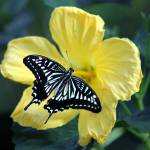 """Chinese Yellow Swallowtail"" by H_Kaufman"