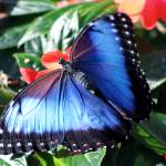 """Blue Morpho"" by H_Kaufman"