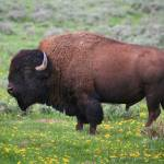 """Bison"" by burterwinphotography"
