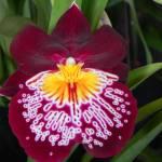 """Orchid Magenta"" by SeaAngel12"