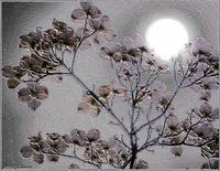 Dogwood blossoms by moonlight