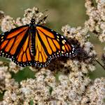 """Monarch Butterfly"" by mikart"