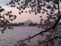 Jefferson Memorial Cherry Blossoms and Sunrise