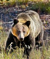 Grizzly Bear GTNP Jackson Wyoming