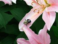 Oriental Lily with Bee