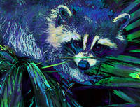 midnight racoon