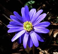Purple Wood Anemone