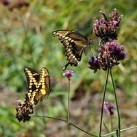 Butterflies   Giant Swallowtails