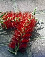 Callistemon Blossoms