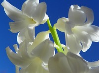 The Smell of Spring White Hyacinth Flower