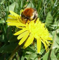 Bumble Bee on a Dandelion