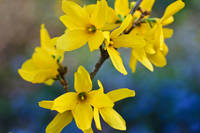 Forsythia Dances with Perwinkle