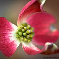 Pink Dogwood Art Prints & Posters by Cynthia Foulk