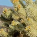 """""""Cholla Cactus"""" by LeahTrottArt"""