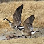 """""""Geese on the banks"""" by cameragal"""
