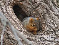 Squirrel in the den hole