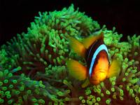 Anemone Fish in Anemone