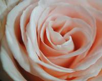 Soft Pink Rose Close Up 16x20