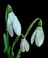 Raindrops on Snowdrops