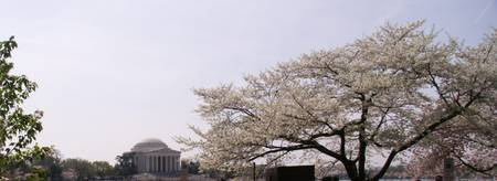 Cherry Blossoms 2012011