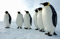 Penguins Lined Up