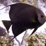 """Black Angelfish From Side"" by Serena"