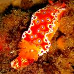 """Bright Orange Nudibranch"" by Serena"