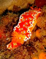 Bright Orange Nudibranch