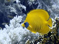 Butterfly Fish Over Fire Coral
