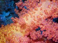 Close up of Pink and Yellow Soft Coral
