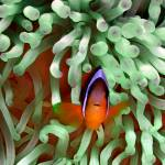 """Clownfish in Pale Green Anemone"" by Serena"