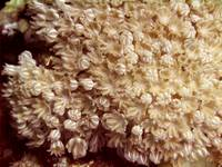 Xenia Coral Pulsing