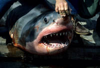 Great White Shark Caught