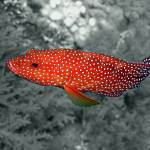 """Coral Trout Selective Colour"" by Serena"